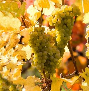 Виноградники на Кипре
