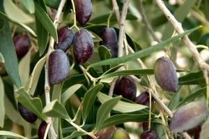 Оливковое дерево с оливками