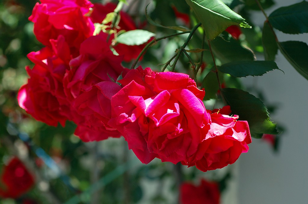 roses in Agros