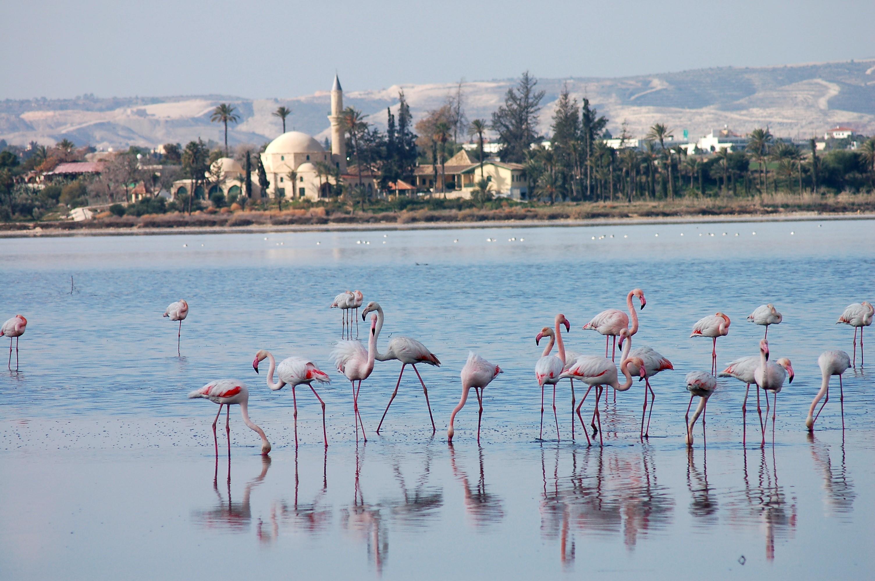 Картинки по запросу соленое озеро ларнака фламинго фото