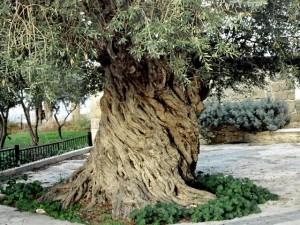 Парк олив «Олеастро» и музей