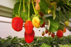Strawberry Festival in Derinya