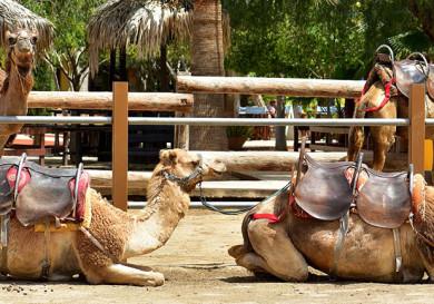 Mazotos Camel Park - Cyprus